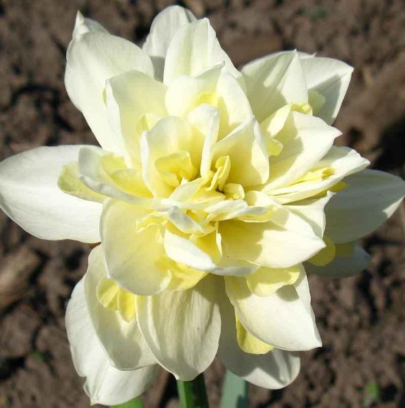 Фото цветов мятлик