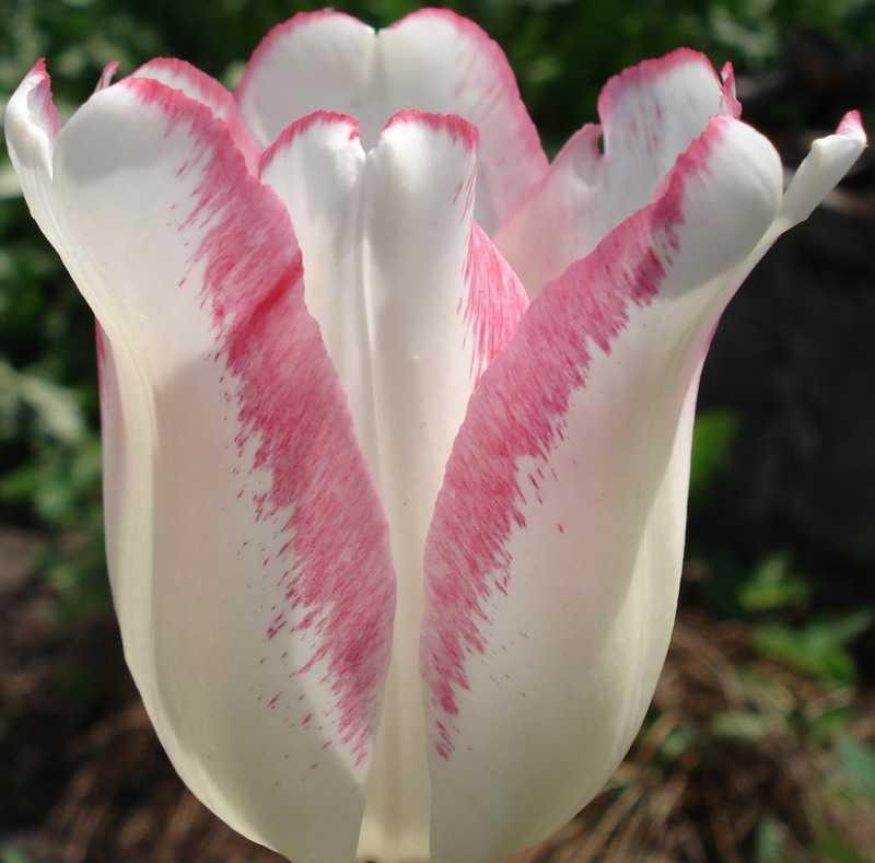 <b>Особенные сорта тюльпанов</b> - лучшие фото сортовых <b>тюльпанов</b>