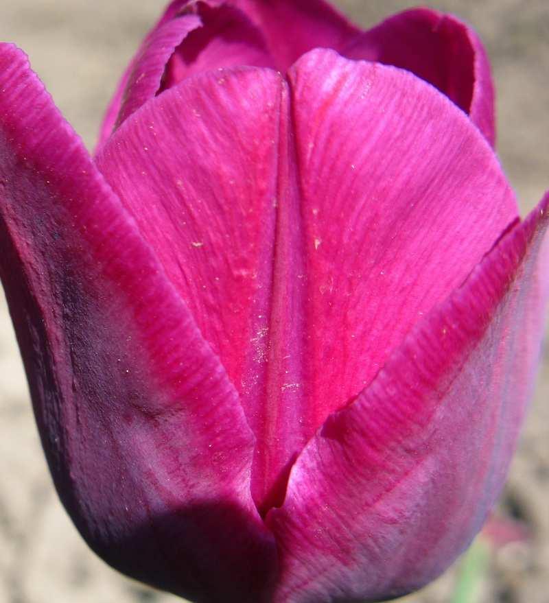 Тюльпаны - <b>каталог</b> <b>тюльпанов</b>, продажа почтой